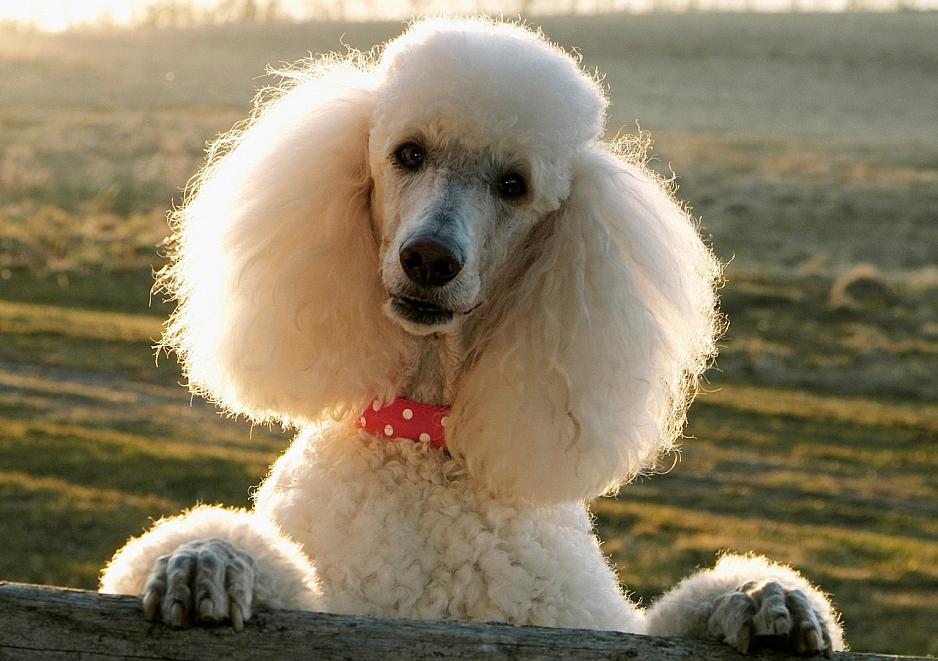 Un simpático Poodle