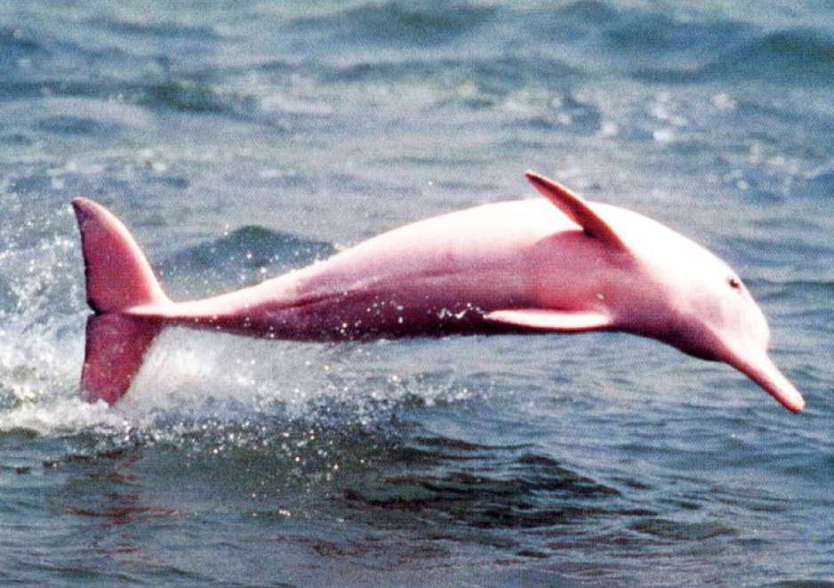 Conoce a Pinky, el delfín rosa de Louisiana
